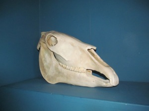 EE065 Large Horse Skull